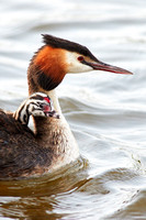 Great Crested Grebe & young